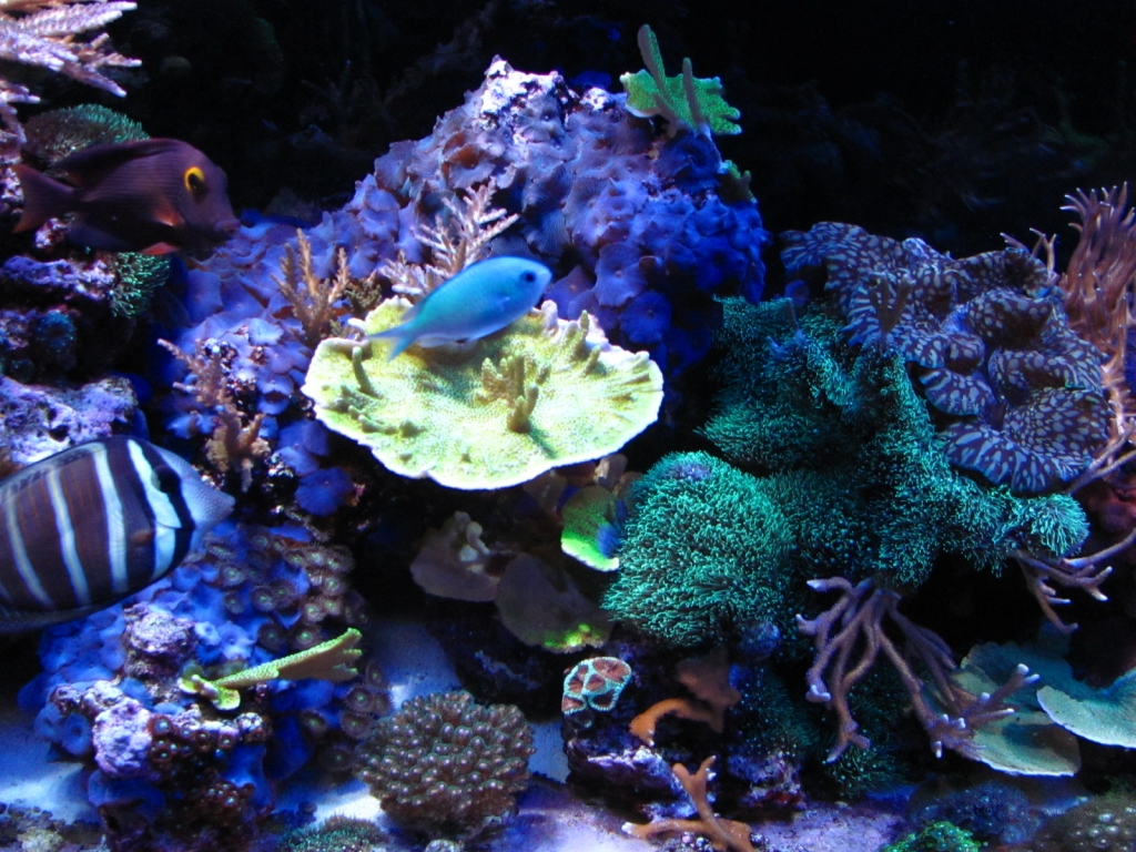 Kole Tang, Sailfin Tang, Blue-Green Chromis and Corals